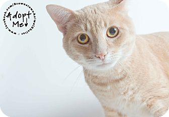 Domestic Shorthair Cat for adoption in Brownstown, Michigan - Cheeko
