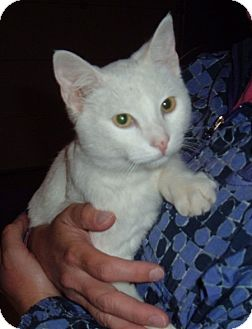 Domestic Shorthair Cat for adoption in Troy, Ohio - Frosty