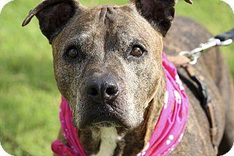 American Pit Bull Terrier Mix Dog for adoption in Phoenix, Arizona - Pebbles