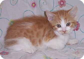 Domestic Mediumhair Kitten for adoption in Larned, Kansas - Baloo