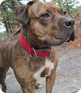 American Staffordshire Terrier/Boxer Mix Dog for adoption in Forked River, New Jersey - Dean