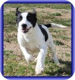 Border Collie Mix Dog for adoption in Allentown, Pennsylvania - Hansel
