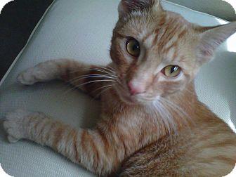 Domestic Shorthair Kitten for adoption in Proctorville, Ohio, Ohio - Spalding