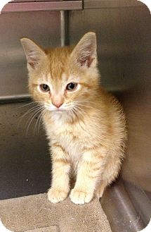 Domestic Shorthair Kitten for adoption in South Haven, Michigan - Butter