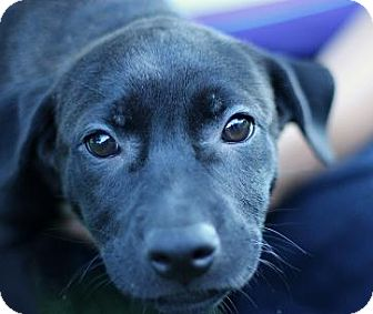 Labrador Retriever Mix Puppy for adoption in South Jersey, New Jersey - Maribel