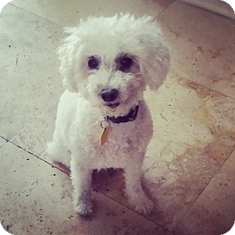 Poodle (Miniature) Mix Dog for adoption in Phoenix, Arizona - Cora