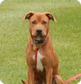 Boxer/Labrador Retriever Mix Dog for adoption in North Haverhill, New Hampshire - Charlie