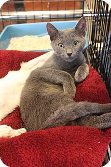 Russian Blue Kitten for adoption in Smyrna, Georgia - Goose
