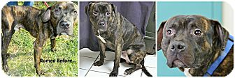 American Pit Bull Terrier Mix Dog for adoption in Forked River, New Jersey - Romeo