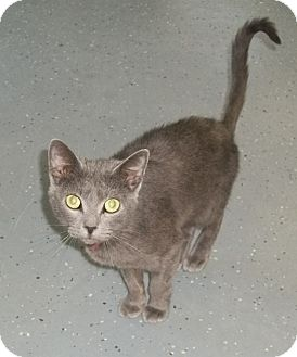Domestic Shorthair Cat for adoption in Martinsville, Indiana - Tori