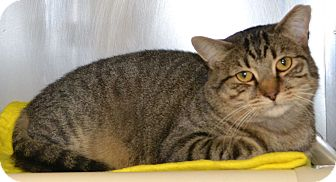 Domestic Shorthair Cat for adoption in Mineral, Virginia - Sherlock