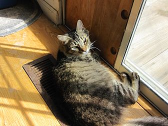 Domestic Mediumhair Cat for adoption in San Ramon, California - Jelly Bean
