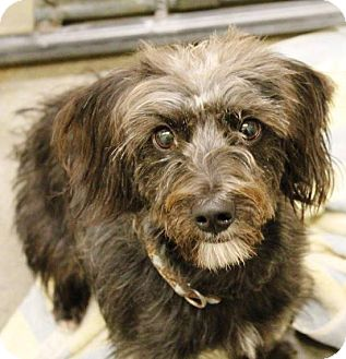 Cairn Terrier/Poodle (Miniature) Mix Dog for adoption in Kalamazoo, Michigan - Jax