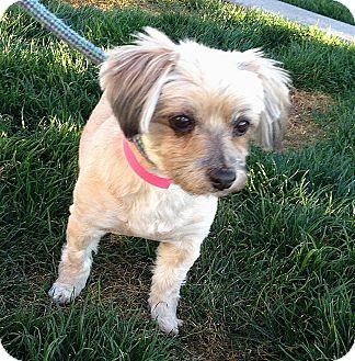 Yorkie, Yorkshire Terrier Mix Dog for adoption in Scottsdale, Arizona - Mandy