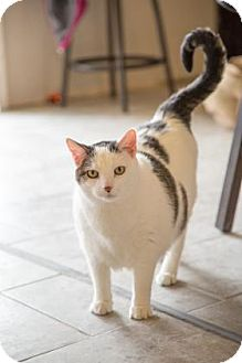 Domestic Shorthair Cat for adoption in West Des Moines, Iowa - Lati