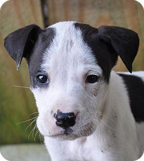 Labrador Retriever/Hound (Unknown Type) Mix Puppy for adoption in Bedminster, New Jersey - Radar