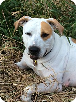 Pit Bull Terrier Mix Dog for adoption in Owatonna, Minnesota - Ginny