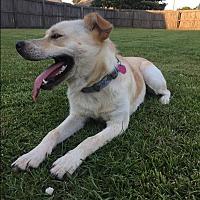 Labrador Retriever Mix Dog for adoption in Parkton, North Carolina - Sunny