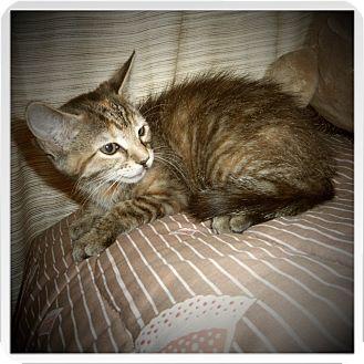 Domestic Shorthair Kitten for adoption in Medford, Wisconsin - NOLA