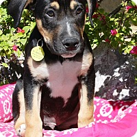 Adopt A Pet :: Roti - Gilbert, AZ