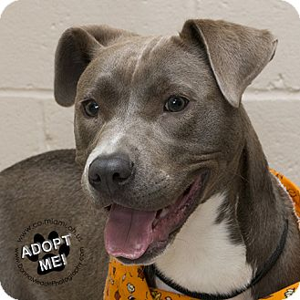 Pit Bull Terrier Mix Dog for adoption in Troy, Ohio - Fern