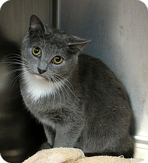 Domestic Shorthair Cat for adoption in Paducah, Kentucky - Ashley