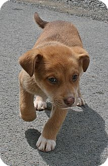 Labrador Retriever/Retriever (Unknown Type) Mix Puppy for adoption in Beebe, Arkansas - Sammie