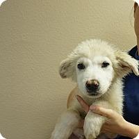 Adopt A Pet :: Snow - Oviedo, FL