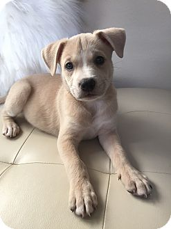 Labrador Retriever/Pit Bull Terrier Mix Puppy for adoption in Houston, Texas - Rory