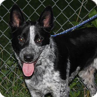 Cattle Dog Mix Dog for adoption in Staunton, Virginia - Ragnar
