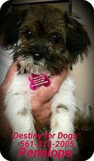 Shih Tzu/Terrier (Unknown Type, Small) Mix Puppy for adoption in West Palm Beach, Florida - Penelope