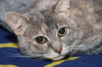 Domestic Shorthair Cat for adoption in Marietta, Ohio - Sulkie (Spayed)