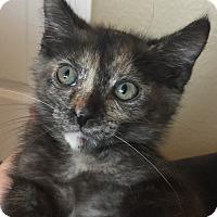 Adopt A Pet :: Callie - Encinitas, CA