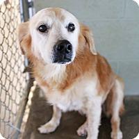 Golden Retriever Mix Dog for adoption in Madison, Wisconsin - Emily, Senior Discount!