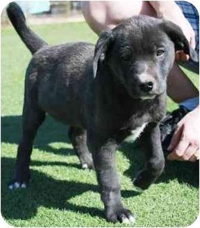 Springer Spaniel/Hound (Unknown Type) Mix Puppy for adoption in Gilbert, Arizona - Cabbott