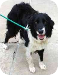 Border Collie Mix Dog for adoption in Avon, New York - Bradley