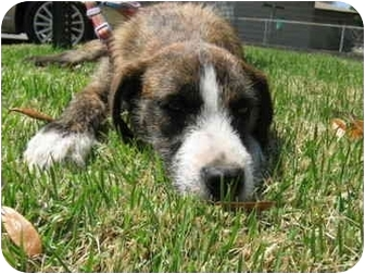 Fox Terrier (Wirehaired) Mix Dog for adoption in Niceville, Florida - Celia