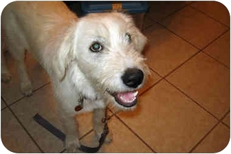 Great Pyrenees/Airedale Terrier Mix Puppy for adoption in Kyle, Texas - Mauna Kea