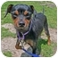 Photo 1 - Miniature Pinscher/Jack Russell Terrier Mix Dog for adoption in San Clemente, California - LOLA