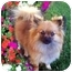 Photo 1 - Pomeranian Dog for adoption in Los Angeles, California - AUTUMN