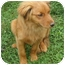 Photo 2 - Golden Retriever Mix Dog for adoption in Portland, Maine - Ruby