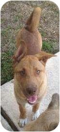 Shepherd (Unknown Type) Mix Puppy for adoption in Schertz, Texas - Cannon
