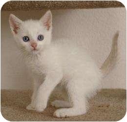 Siamese Kitten for adoption in Sacramento, California - Jiff