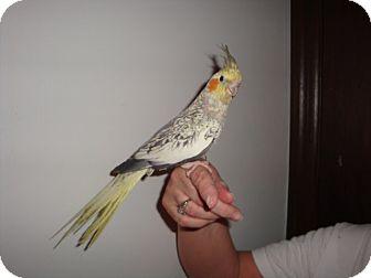 Cockatiel for adoption in St. Louis, Missouri - Margo