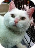 Domestic Shorthair Cat for adoption in Modesto, California - Sweetie Pie