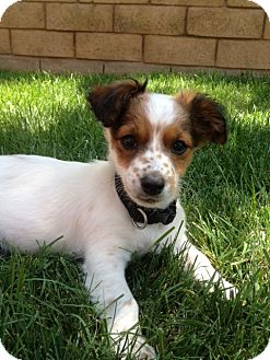 King Charles Spaniel/Poodle (Miniature) Mix Puppy for adoption in Santa Monica, California - CHARLES