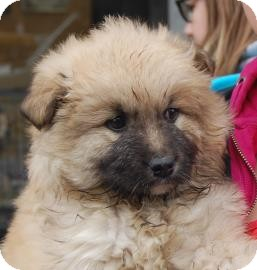 Chow Chow Mix Puppy for adoption in Brooklyn, New York - CJ