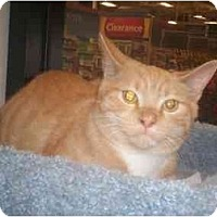 Adopt A Pet :: Boots - Richmond, VA