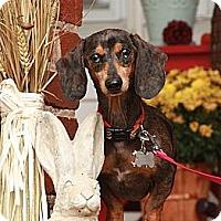 Adopt A Pet :: Norman Tater (!!Reduced!!) - Brattleboro, VT