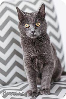 Domestic Shorthair Kitten for adoption in Plymouth, Minnesota - Charlie